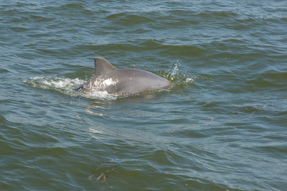 Dolphin in Tampa Bay