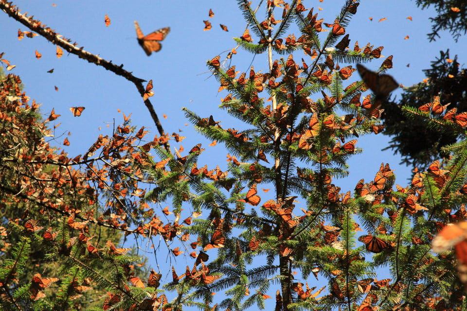 Monarch Butterfly Sanctuary, Mexico