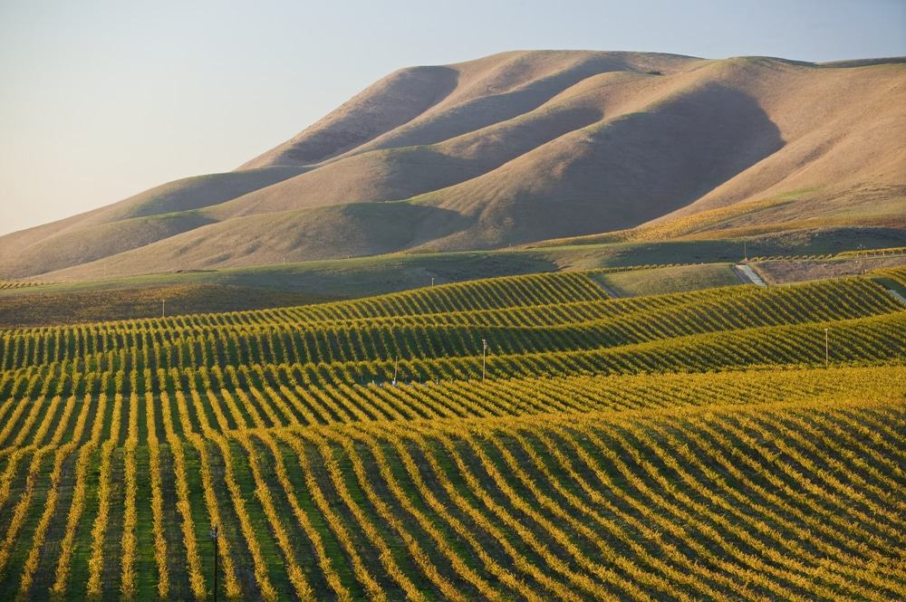 Vineyard in Santa Maria California