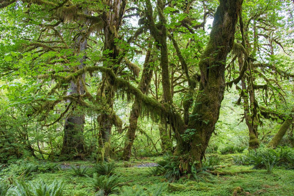Hoh Rainforest Trail, Olympic National Park, Washington