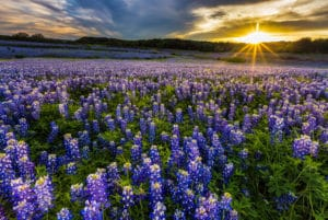 Texas Bluebonnet Field in Muleshoe Bend Recreation Arean, Austin