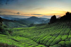 Boh Tea Plantation