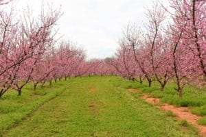 Isom's Orchard