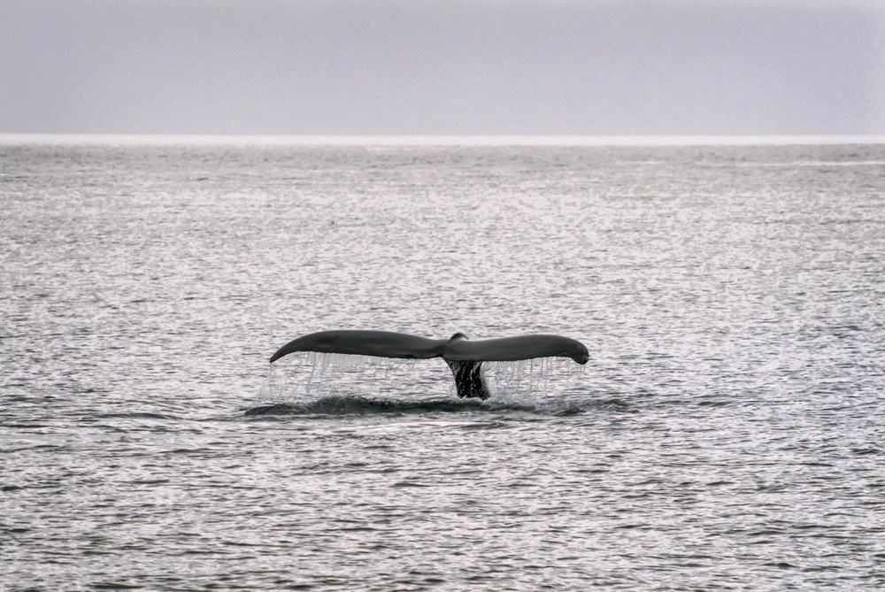Sitka Whale