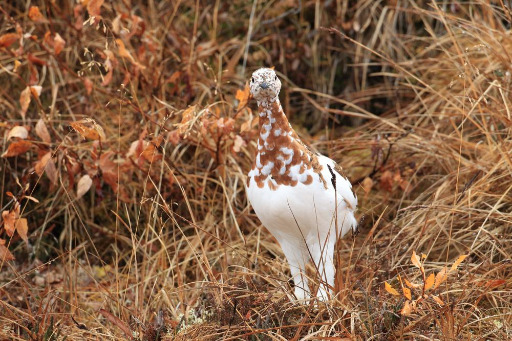Willow Ptarmigan, Alaska