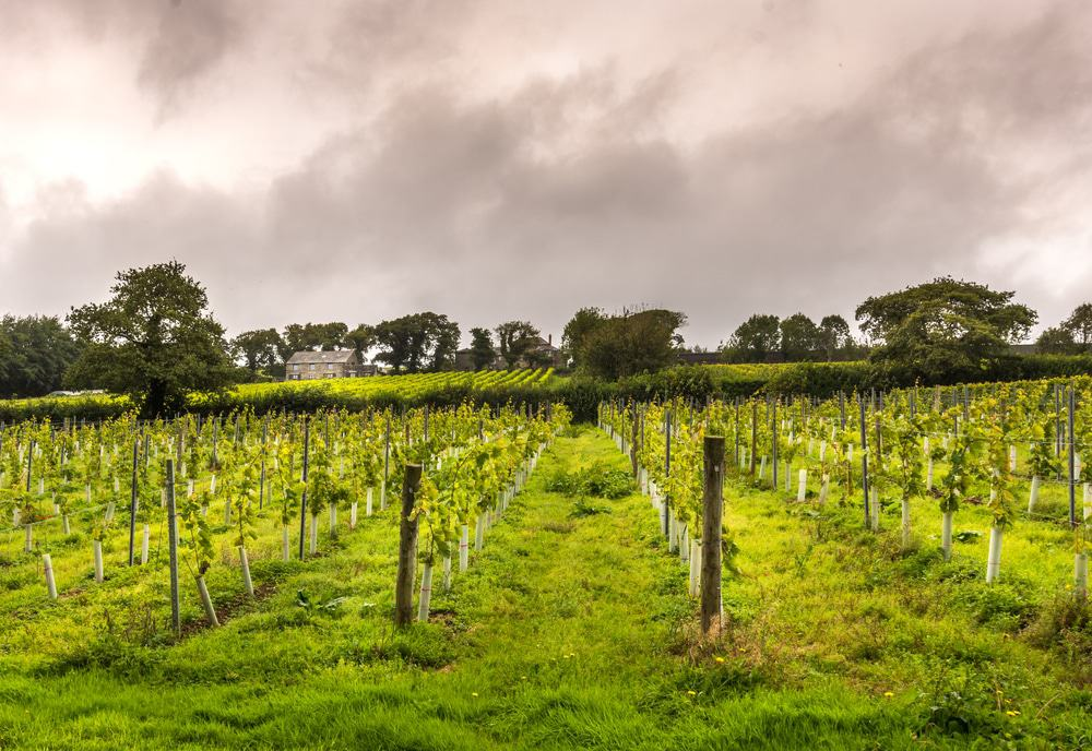 Camel Valley Vineyard