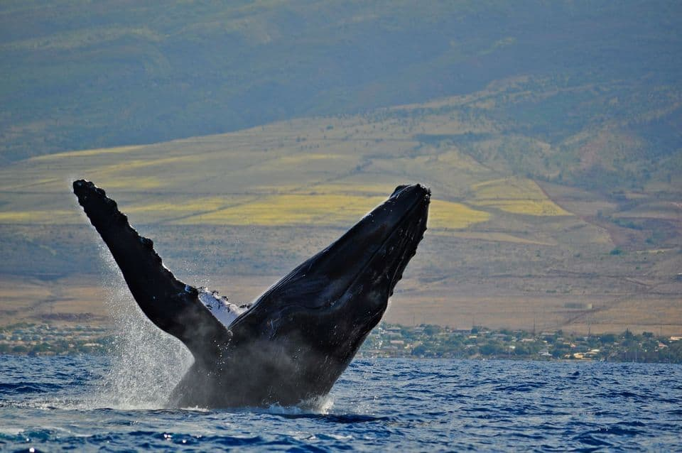 Whale Watching Cruise From Lahaina Harbor
