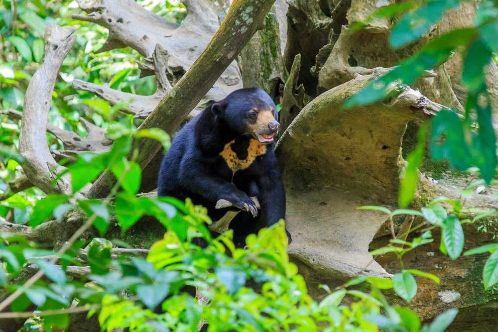 Danum Valley Sun Bear
