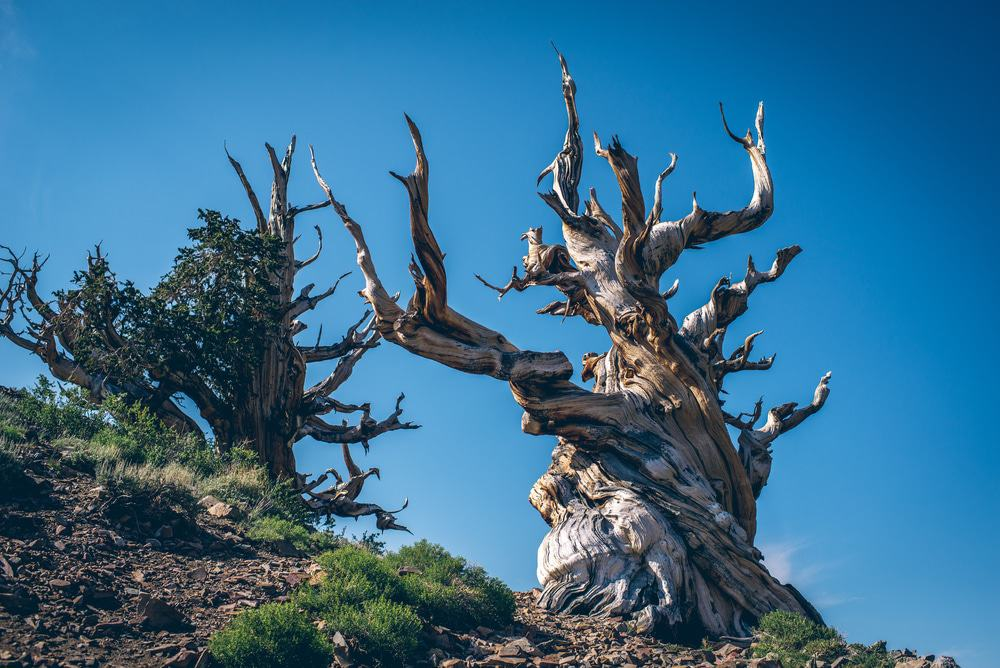 The Bristlecone Pines Of The Great Basin, Baker