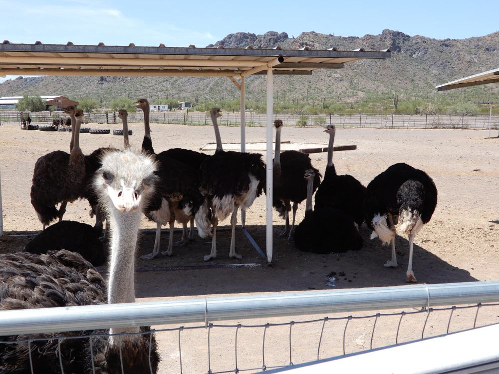 Rooster Cogburn Ostrich Ranch