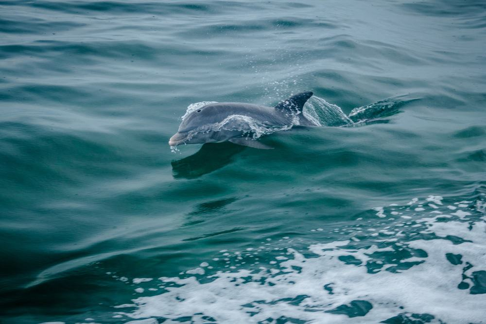 Dolphin In Biscayne Bay