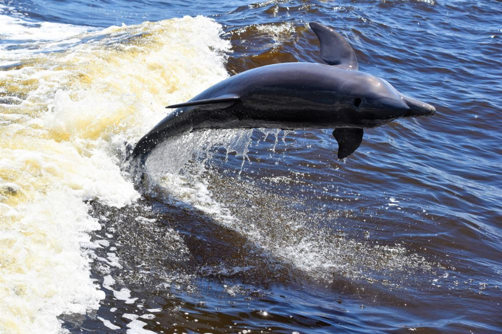 Dolphin At Everglades National Park