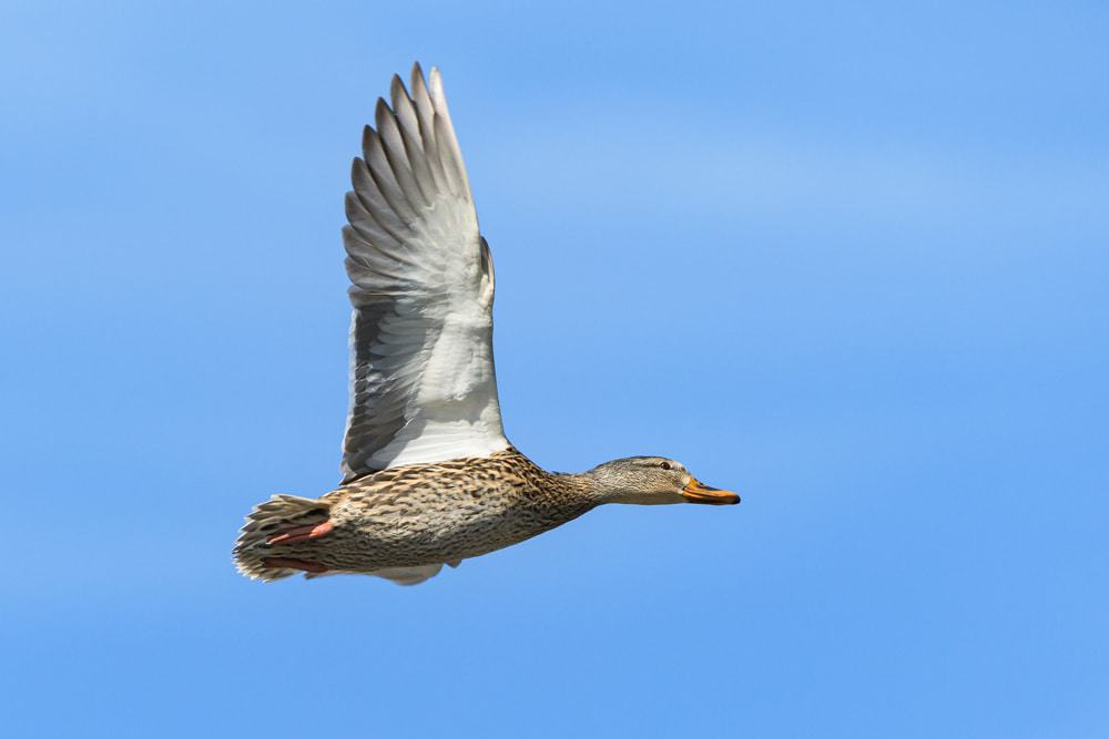 Common Waterfowl In Colorado