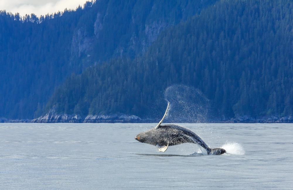 Kenai Fjords Whale Watching