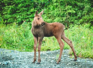 Baby Moose On Hiking Trail In Soldotna