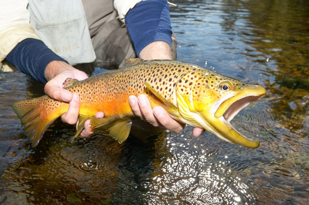 Trout Fishing on the white river