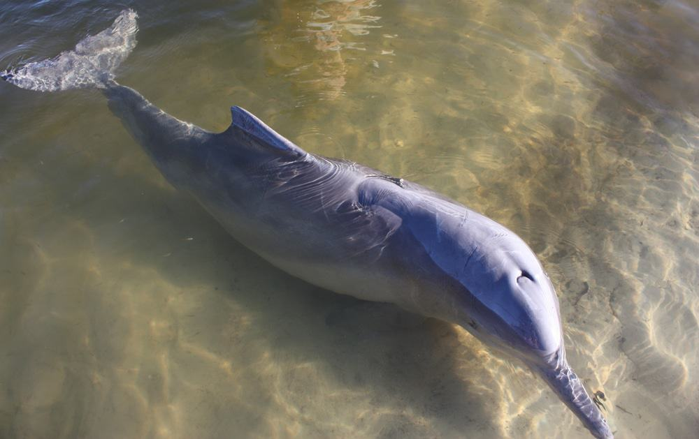 wild dolphin at Rainbow Beach