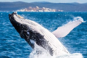 Humpback Whale, Hervey Bay
