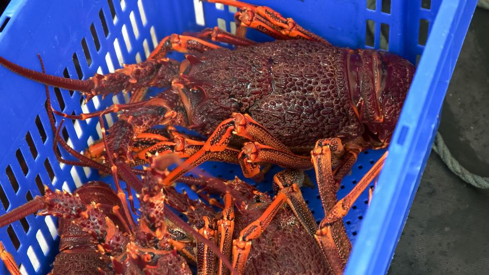 freshly caught southern rock lobster