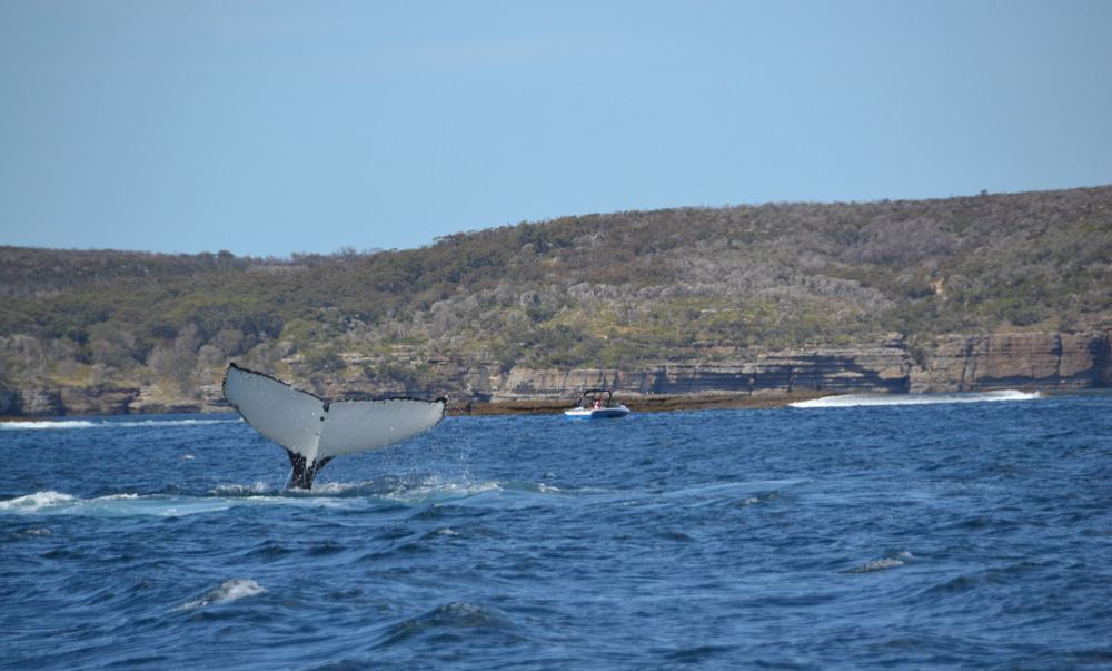 Humpback Whale, Jervis Bay