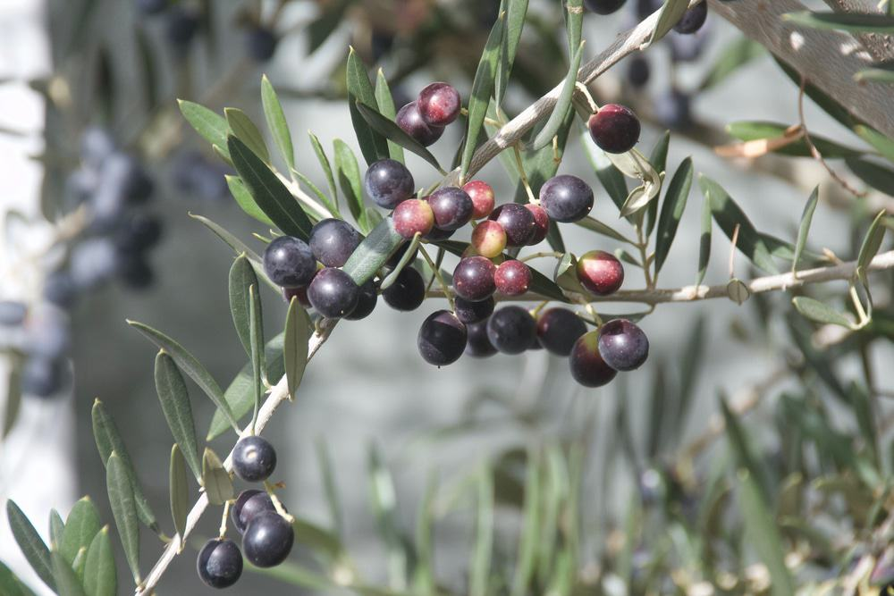 Wollundry Olive Groves