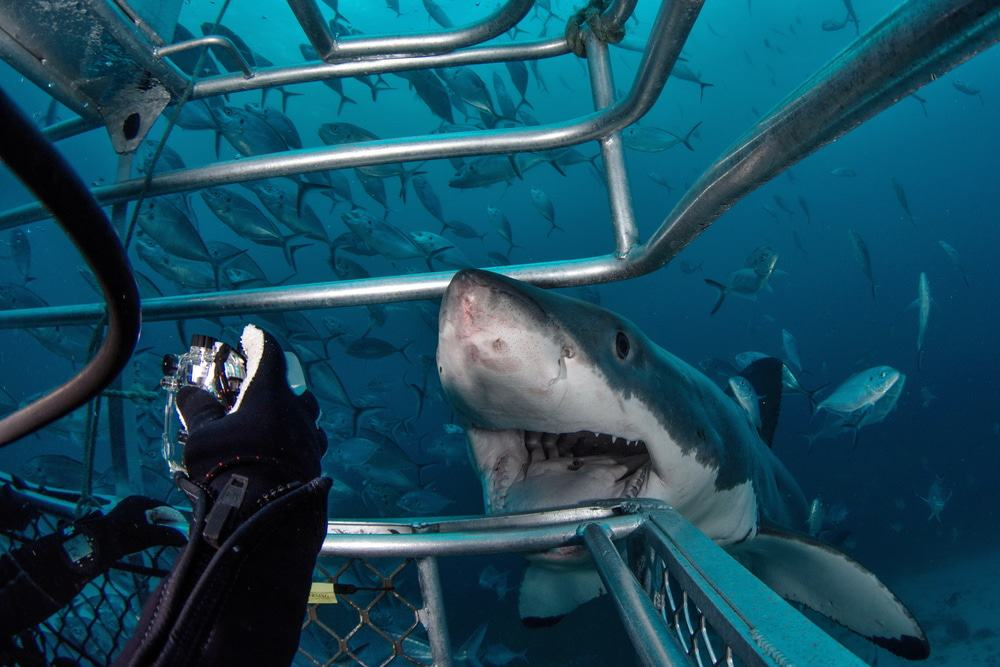 Great White Shark Cage Tours