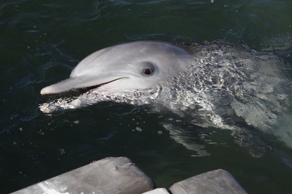 Bottlenose Dolphin At The Whyalla Marina