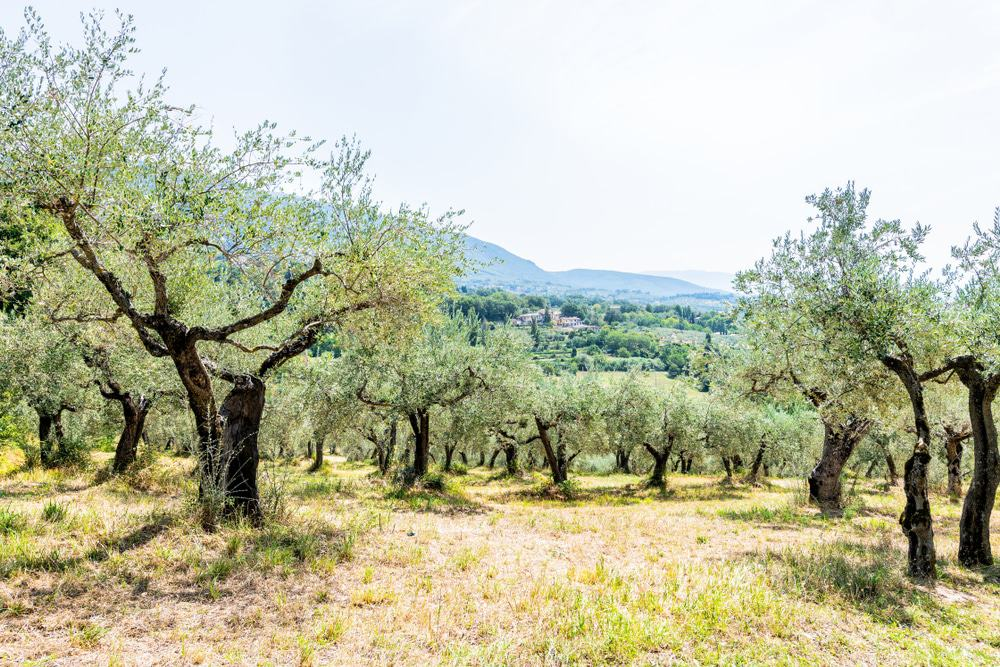 Olive Trees around Assisi