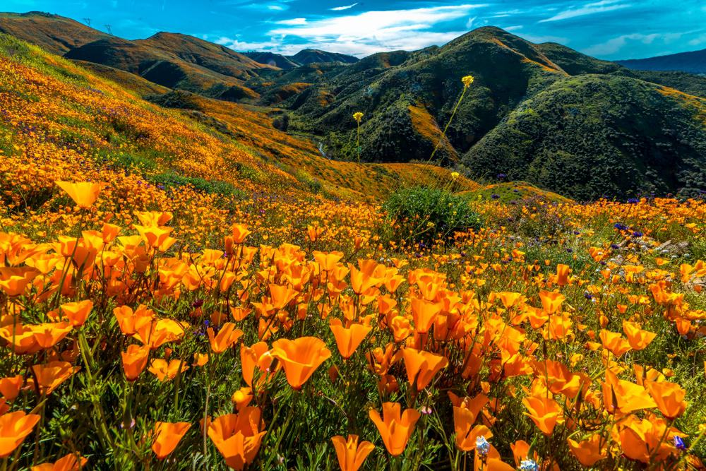 California Poppies in Walker Canyon