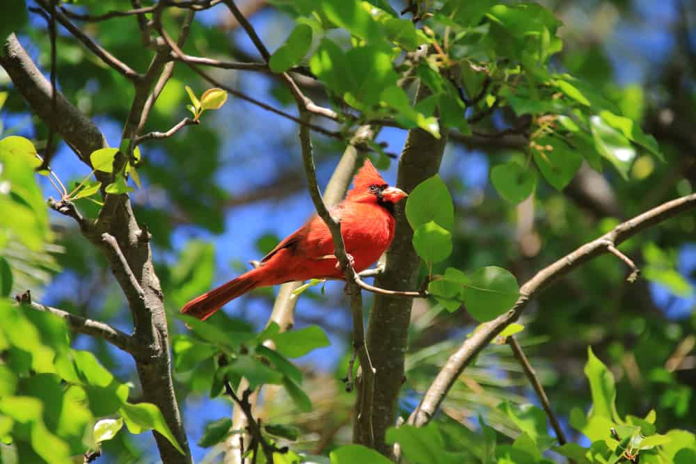 Red-feathered Cardinal